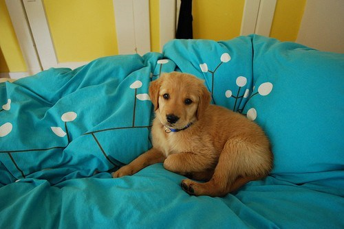dogs,bed,puppies,golden retriever,cyoot puppy ob teh day