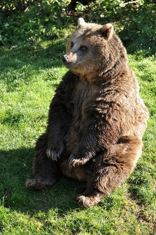 Big Brown Bear Butt