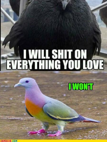 Norty Pigeon V Gud Pigeon