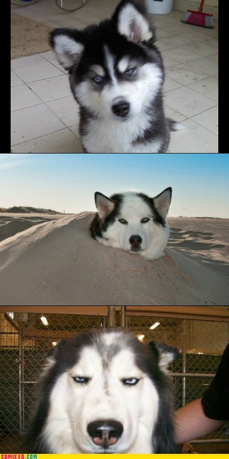 Huskies Are Never Happy...