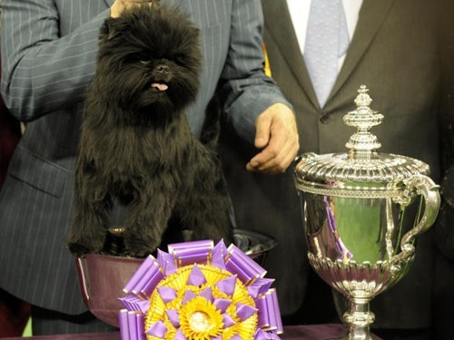 Banana Joe the Affenpinscher Wins Westminster Dog Show