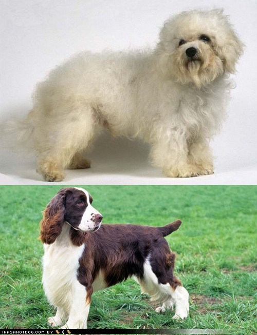 Goggie ob teh Week FACE OFF: Bolognese vs. English Springer Spaniel