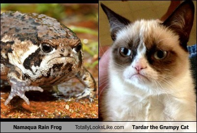 Namaqua Rain Frog Totally Looks Like Tardar the Grumpy Cat