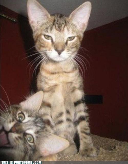 siblings,Cats