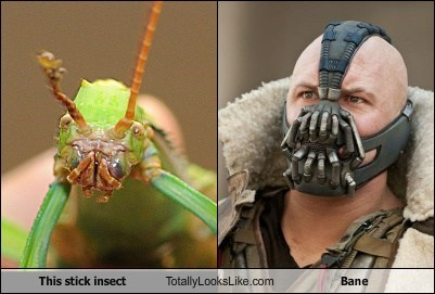 This Stick Insect Totally Looks Like Bane