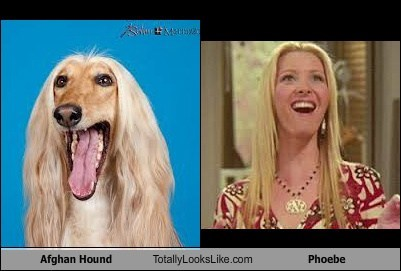 Afghan Hound Totally Looks Like Phoebe