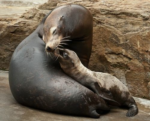 sea lions,kisses,squee spree,squee,whiskers