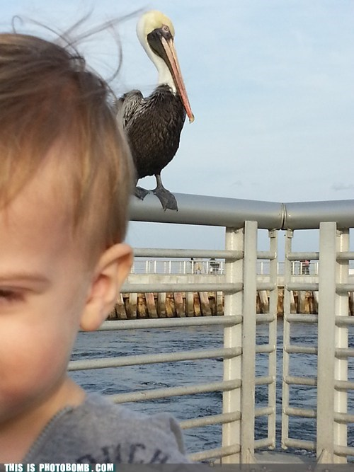 Mr. Pelican Is Hungry