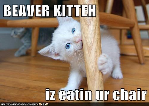 BEAVER KITTEH  iz eatin ur chair