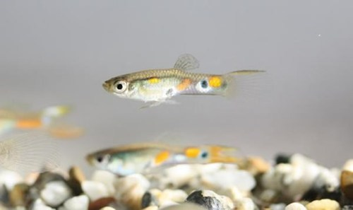 Turns Out Guppies are the Vain Jerks of the Underwater World