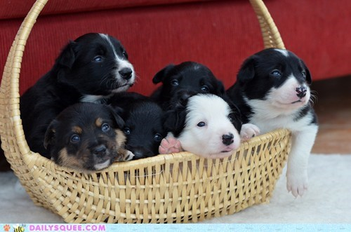 3-Week-Old Border Collie Puppies