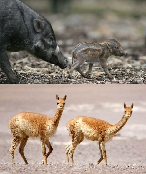 Squee Spree: Visayan Warty Pigs Vs. Vicunas