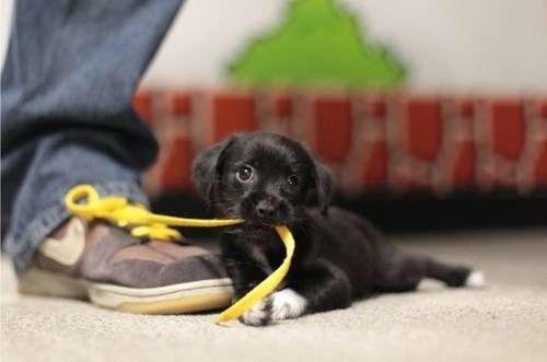 Cyoot Puppy ob teh Day: Shoelaces