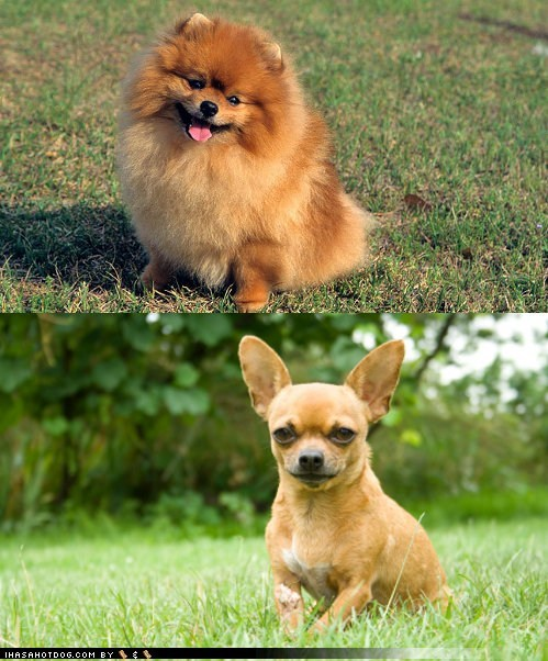 Goggie ob teh Week FACE OFF: Pomeranian vs. Chihuahua