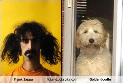 Frank Zappa Totally Looks Like Goldendoodle