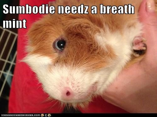 guinea pigs,hint,close,breath mint