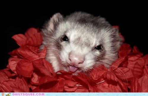 Jellybean the Ferret