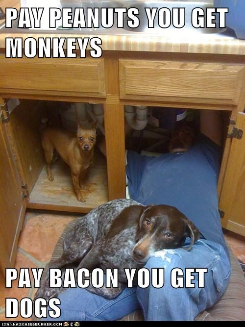 PAY PEANUTS YOU GET MONKEYS  PAY BACON YOU GET DOGS