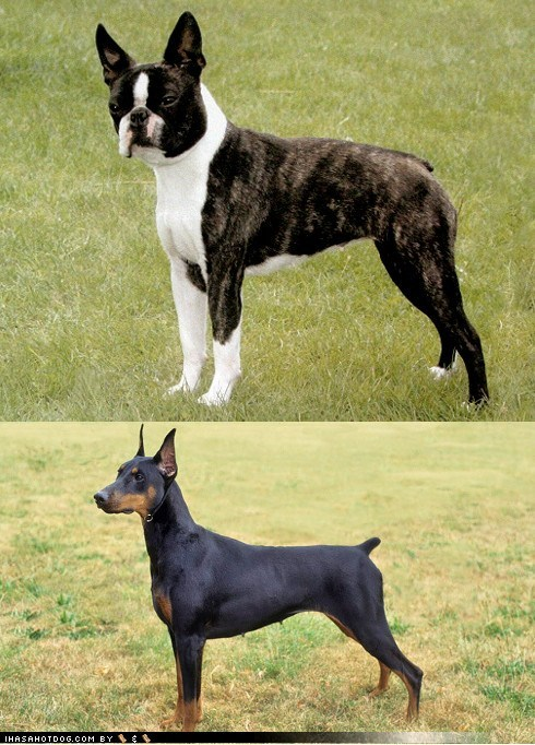 Goggie ob teh Week FACE OFF: Boston Terrier vs. Doberman Pinscher