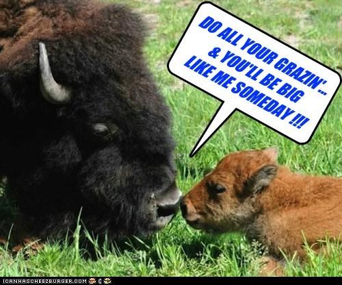 kids,growing up,bison,grazing,grass