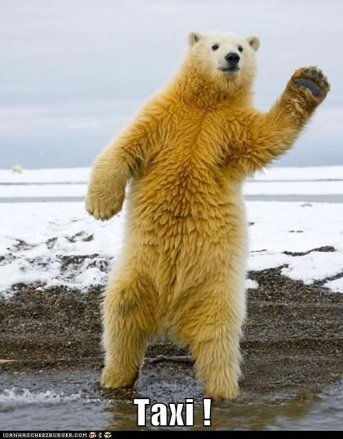 polar bears,taxi,waving