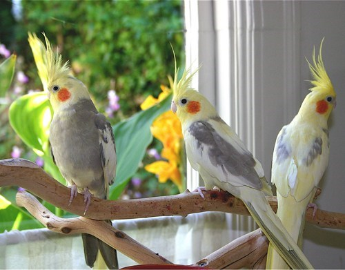 Squee Spree: Victorious Cockatiels