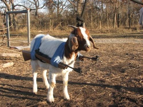 Classic: Attack Goat