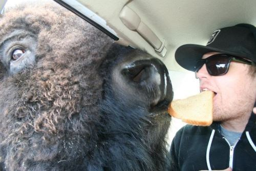 Just In Case You Haven't Seen a Man Sharing a Slice of Bread with a Bison Today