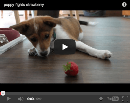 Around the Interwebz: The Cutest Puppy Fighting a Strawberry EVER!