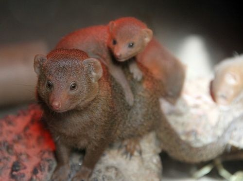 Squee Spree: Mama Mongoose