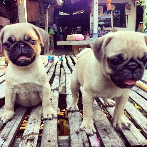Cyoot Puppy ob teh Day: Puggies