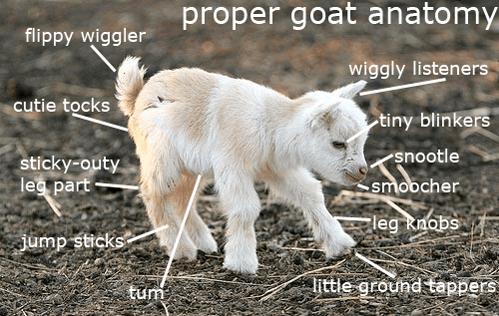 Goat Anatomy