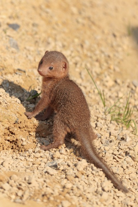 The Noble Dwarf Mongoose Looks for Prey