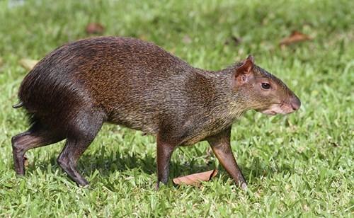 Whatsit: Mysterious Rodent