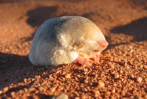Creepicute: Golden Mole
