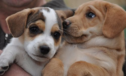 dogs,beagles,puppies,friends,cyoot puppy ob teh day