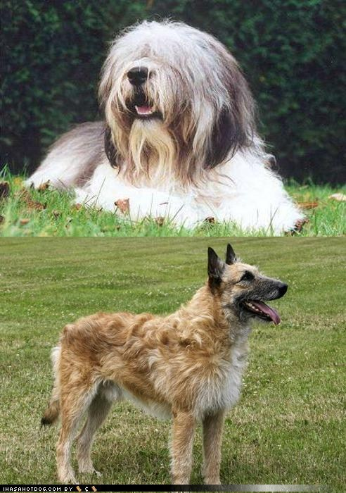 Goggie ob teh Week FACE OFF: Polish Lowland Sheepdog vs. Belgian Laekenois