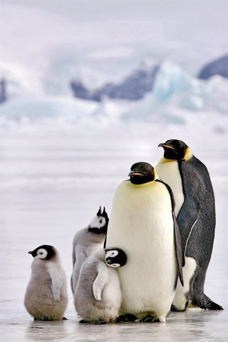 penguins,family