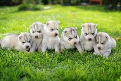 Cyoot Puppy ob teh Day: Row of Huskies