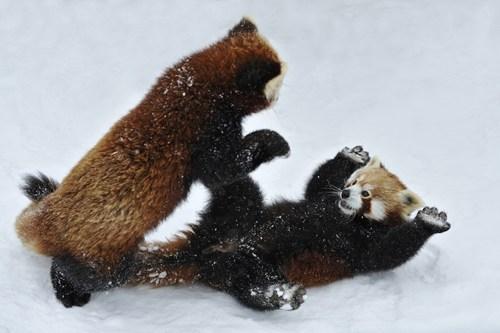 red pandas,play