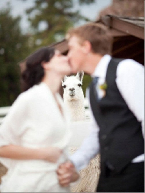 ceremonies,kisses,alpacas