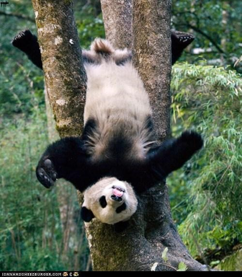 Silly Panda playfully Stuck in a Tree