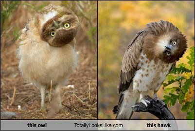 this owl Totally Looks Like this hawk