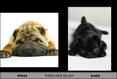 sharpe Totally Looks Like puppy