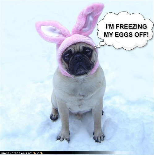 Funny Pug Bunny Blue Balls