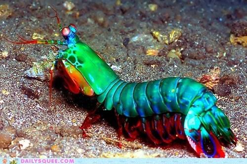 Fabulous Mantis Shrimp