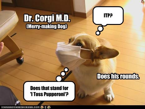 dogs,doctor,corgi