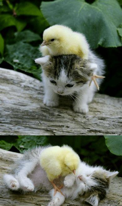 best friends,kitten,chicken