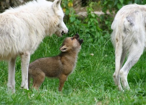 Wolf Pup Learns to Howl