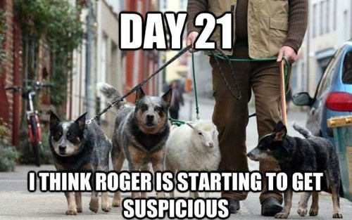 goggie,walk,suspicious,sheep